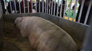 Pesta porcină ajunge în Argeş!