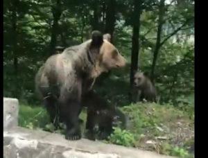 Urşii au apărut şi la Râuşor