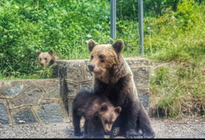 Atenţie dacă mergeţi la cetatea Poienari! O ursoaică cu pui a fost semnalată din nou acolo