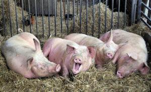 Măsuri de prevenire a pestei porcine africane - La intrarea în cocină, aşterneţi paie îmbibate cu sodă caustică