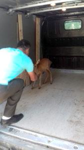 Pui de căprioară ţinut ilegal în captivitate