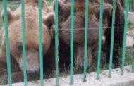Urşii de la Grădina Zoologică din Trivale, răsfăţaţi cu... croasante cu ciocolată