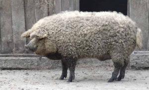 Porcii din rasa Mangaliţa au fost tăiaţi. De pe listă...