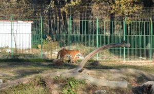 Puiul de tigru născut la Zoo Trivale a primit numele Thor