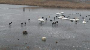 Numărătoare de iarnă: 12.852 de păsări pe lacurile de acumulare din Argeş