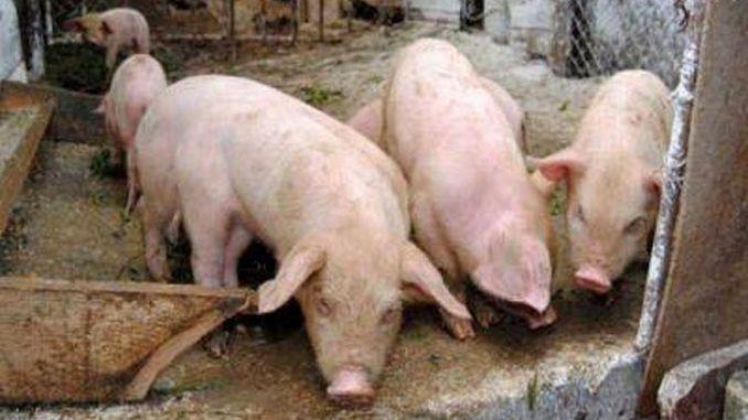 Alarmă de pestă porcină