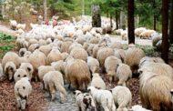 Trei argeşeni au furat zeci de oi de la Cârţişoara!