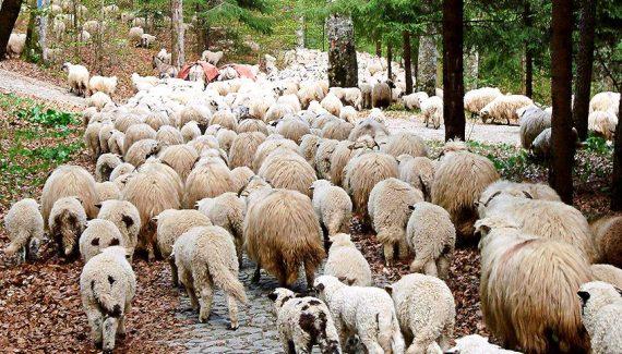 Haiducii Muscelului i-au furat oile!
