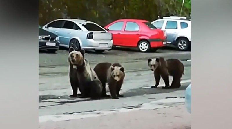 Ursoaica de la Vidraru are GPS pe triceps!