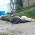 Şase vaci au murit TRĂSNITE la Curtea de Argeş!