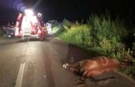 Au lovit un cal pe şosea. Din impact, animalul a murit!