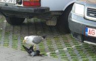 VIDEO - Pescăruşul n-a primit peşte şi a omorât un porumbel