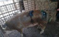 Porc mursecat în coteţ de un urs înfometat!