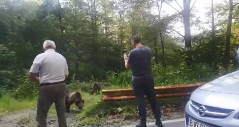 Urşi hrăniţi din palmă de turişti pe Transfăgărăşan