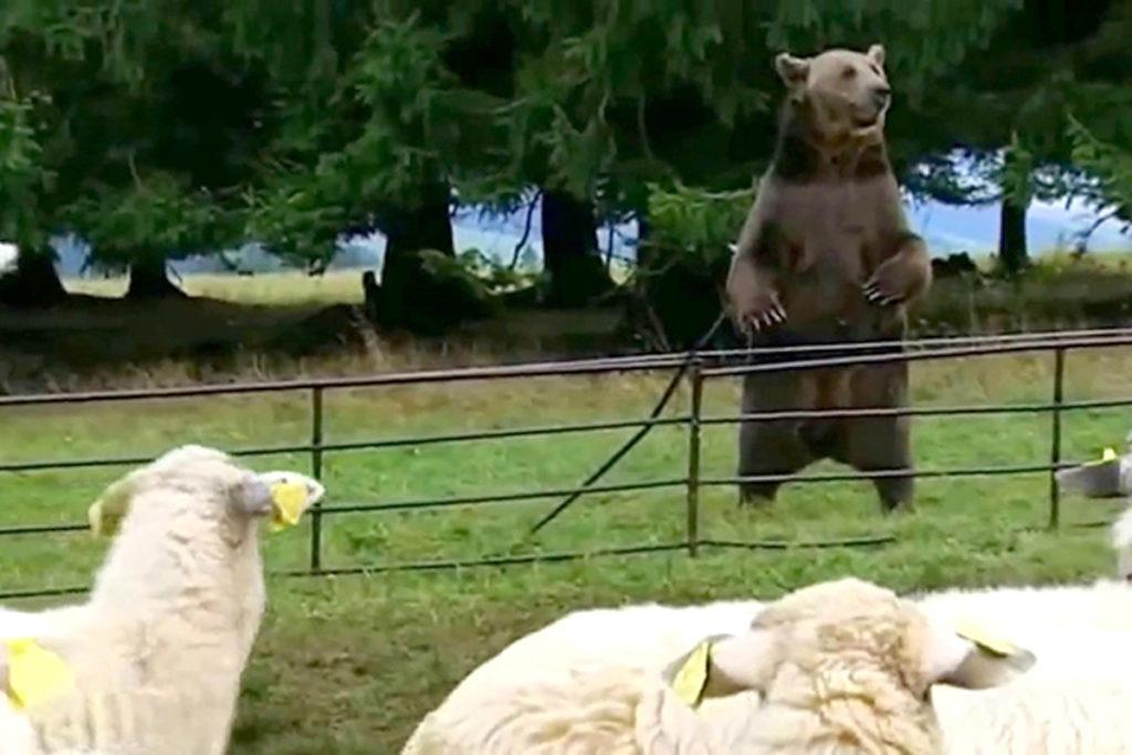Cioban muşcat de urs la Dâmbovicioara