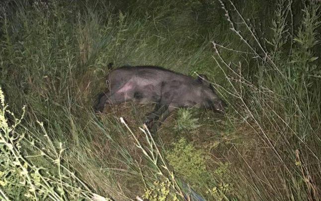 Focar de pestă porcină africană în fondul de vânătoare Trivale