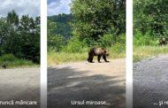 Ursul de pe Transfăgărășan s-a stricat la stomac!