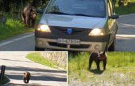 Pe Transfăgărășan, ursul a plecat în urmărire auto!