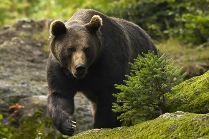 RO-Alert în cazul urşilor de la Arefu