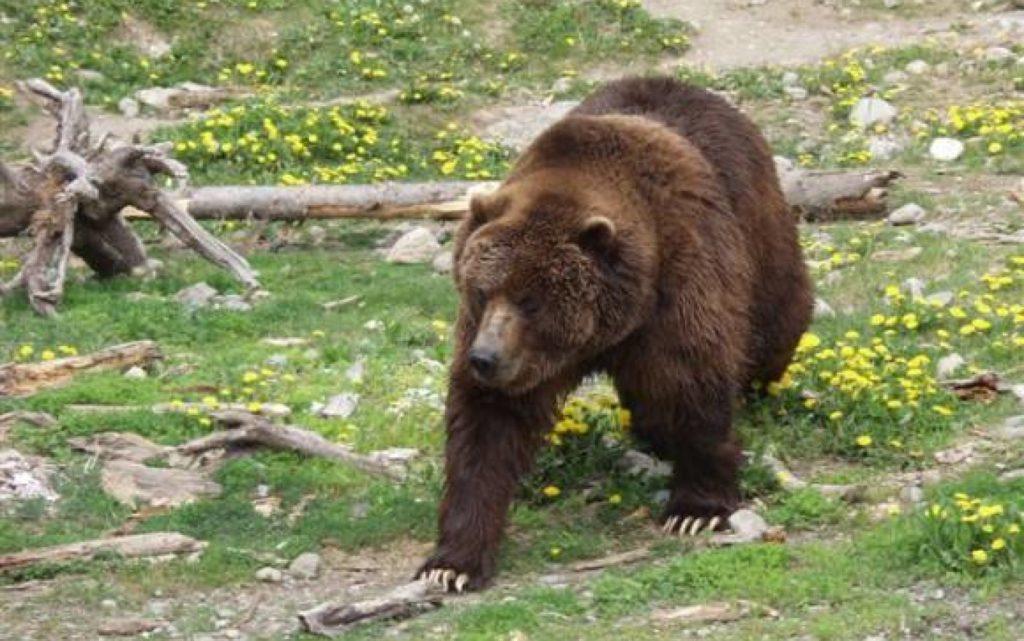 Urşii vor crea probleme în continuare