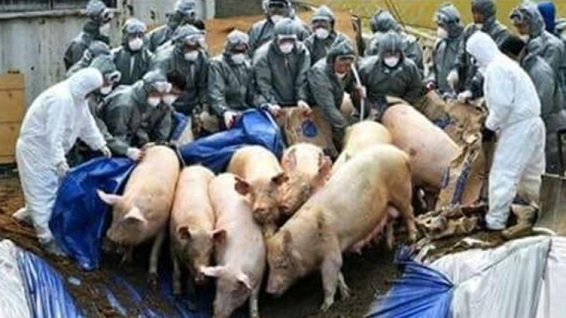 Marii fermieri cer un măcel al porcilor