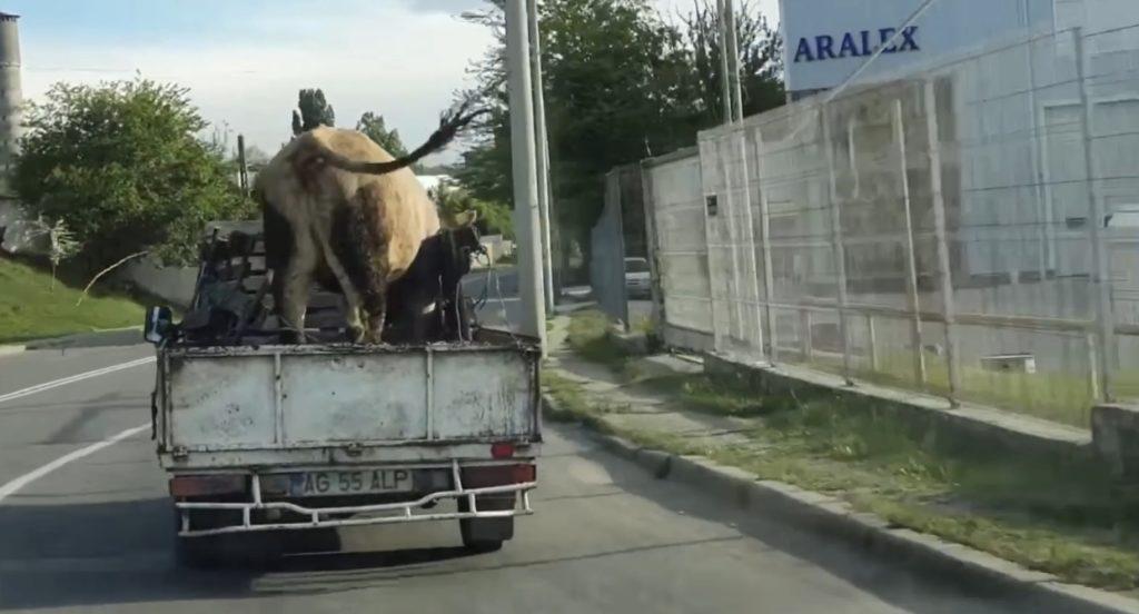 VIDEO CU VACA LA PLIMBARE PE... CENTURĂ