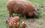 Crescătorii de porci din rasele Bazna și Mangalița vor primi bani prin lege