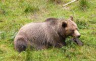 Ursul a atacat o gospodărie la Cicănești