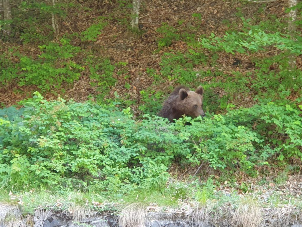 Pe Transfăgărășan,              urșii au ieșit la șosea