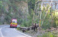 ACUM: Ursoaică cu trei pui - la drumul mare!