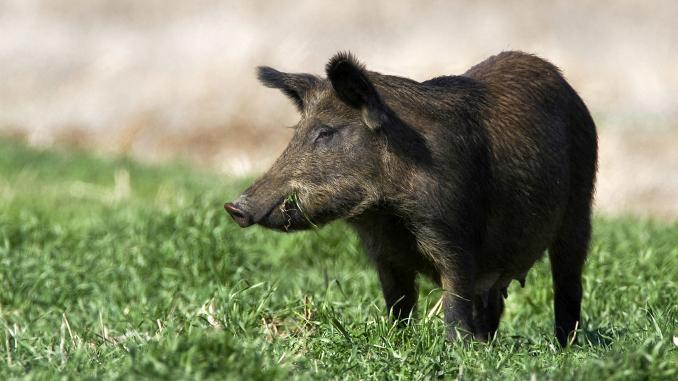 Pestă porcină în Argeș. Sute de focare active în țară