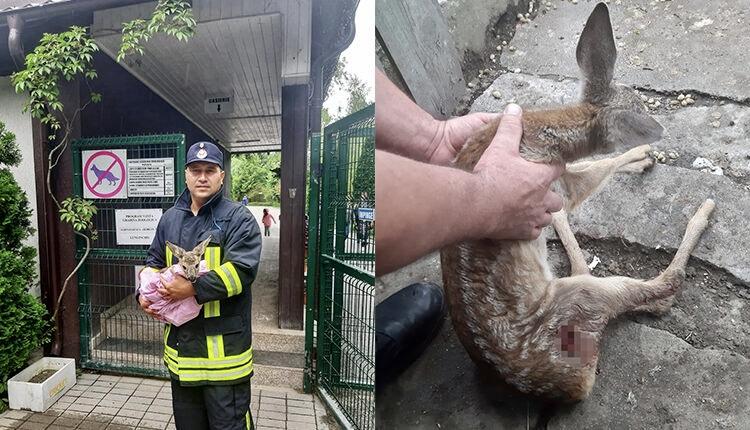 Pui de căprioară, salvat din colţii câinilor în Argeș