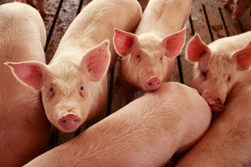 Sute de porci morţi din cauza caniculei în Argeș