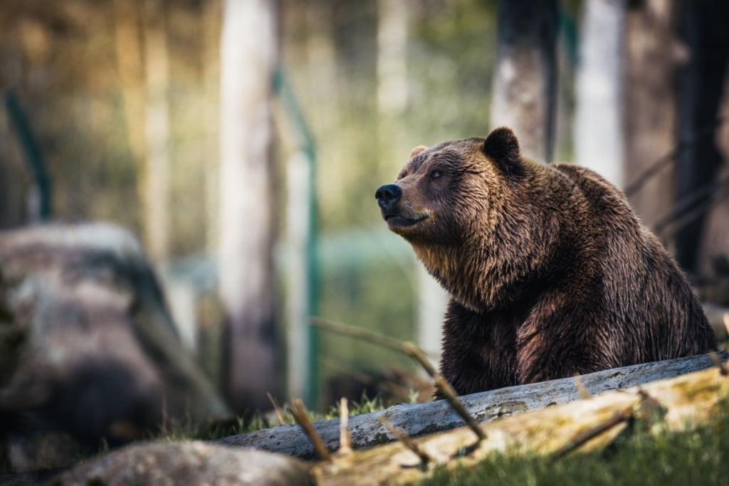 Oficial: Când pot fi împușcați urșii agresivi
