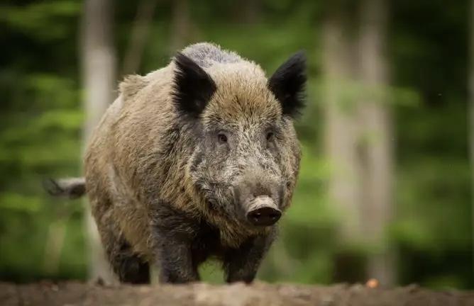 Pesta porcină în Argeș nu ne dă pace!