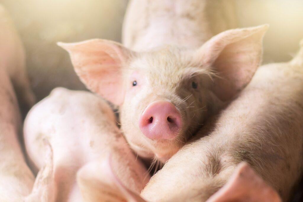 Creşterea porcilor în aer liber, interzisă?