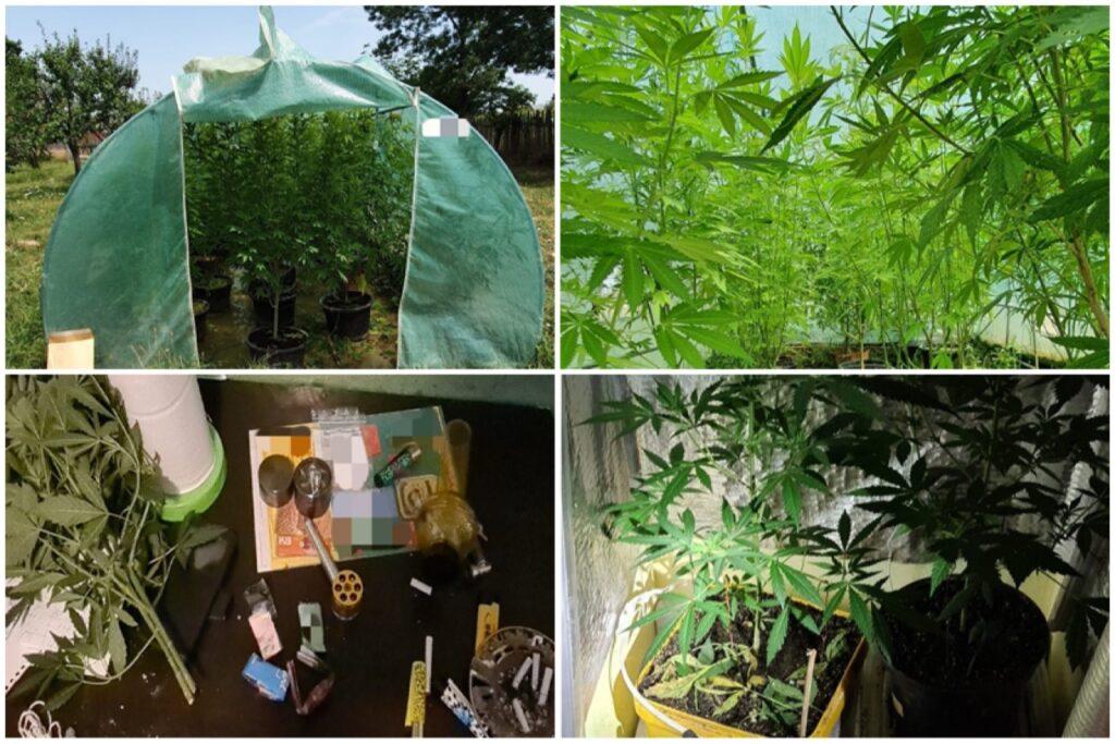 Video: Plantații de cannabis, descoperite în Argeș de polițiști