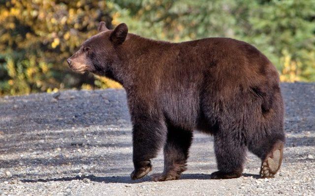Femeie atacată de urs în maşină, pe Transfăgărășan