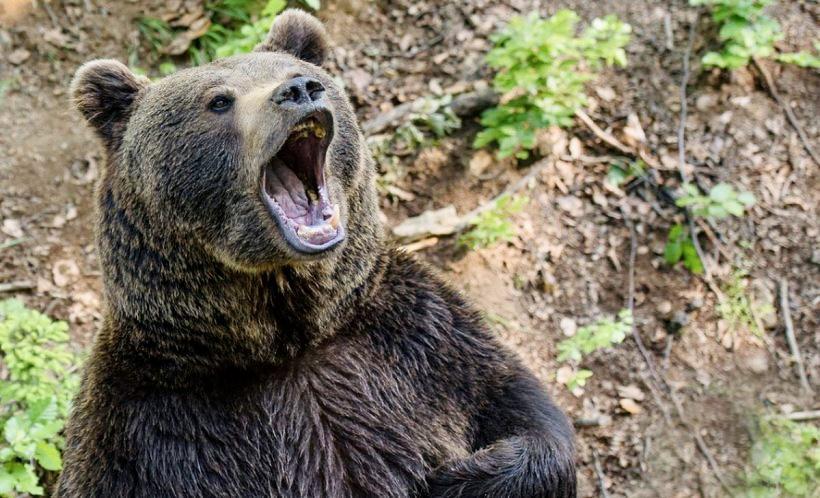 Animale sfârtecate de urs la Bughea de Jos