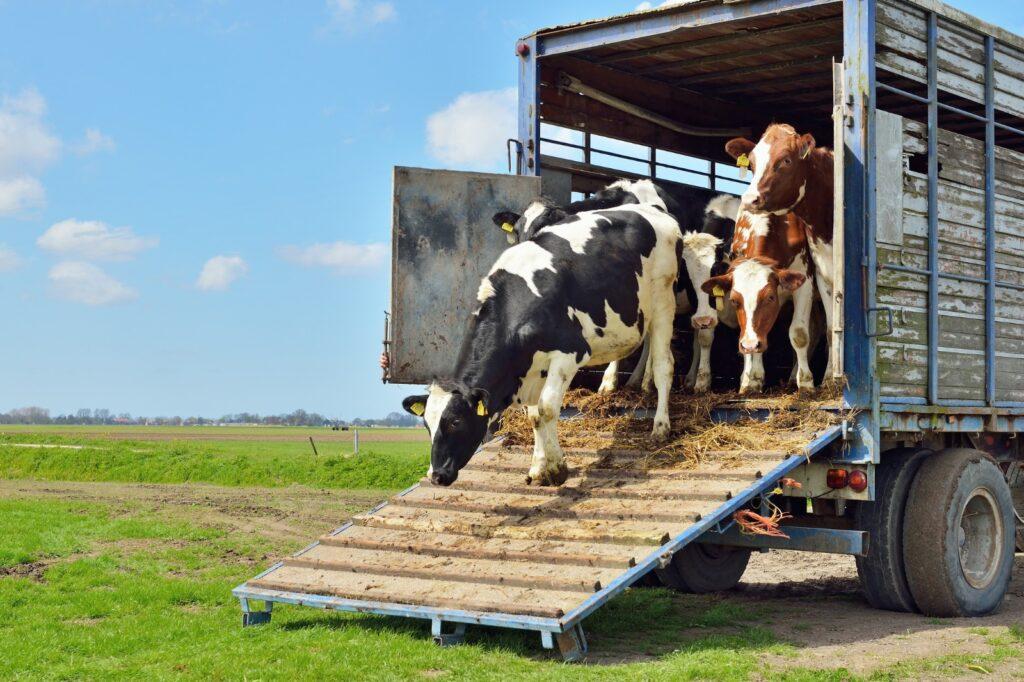 Transporturile de animale, suspendate din cauza caniculei!