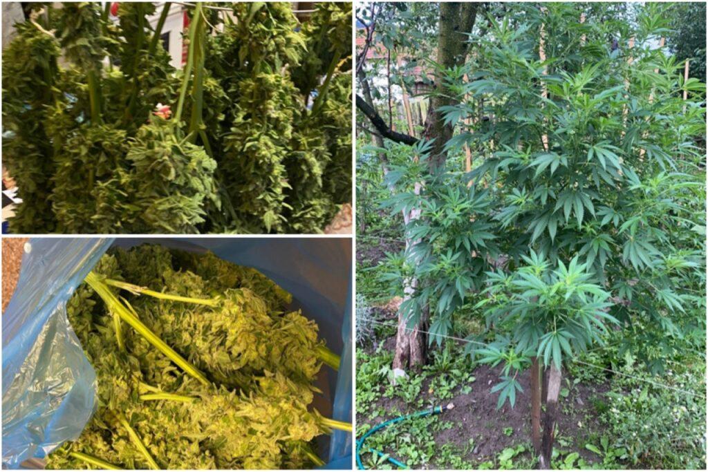 Familia care cultiva cannabis în Argeș, lăsată în libertate