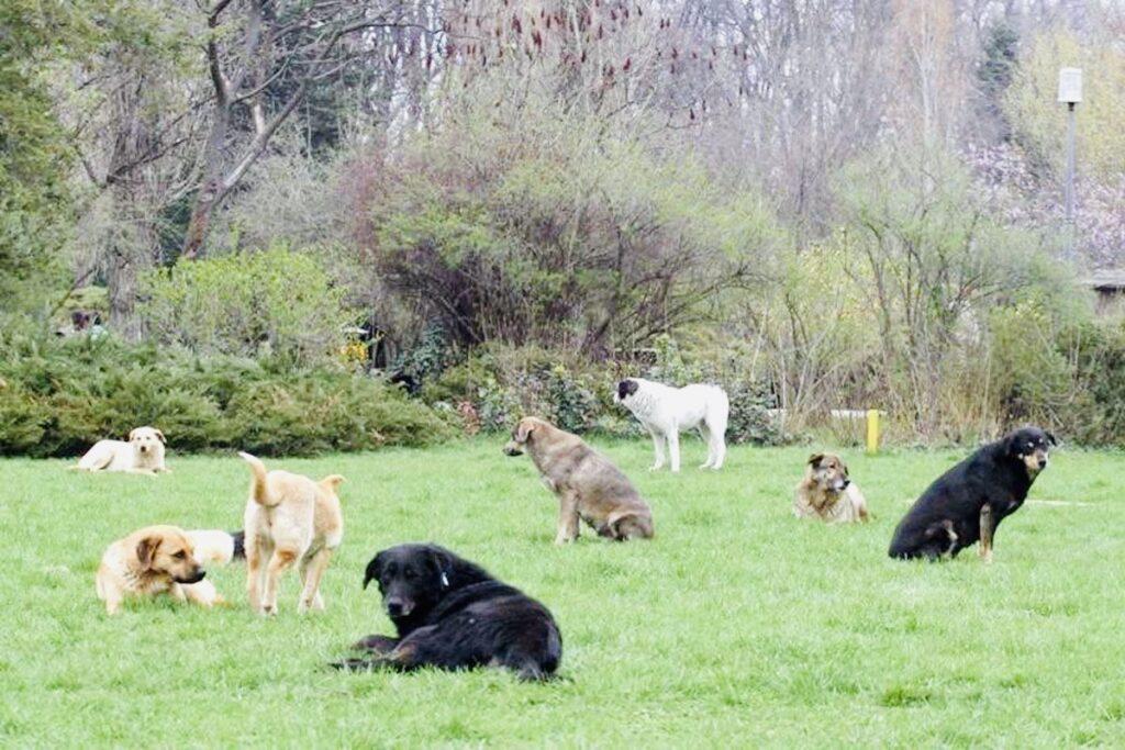 Haită de câini sălbăticiți la Bughea de Jos!
