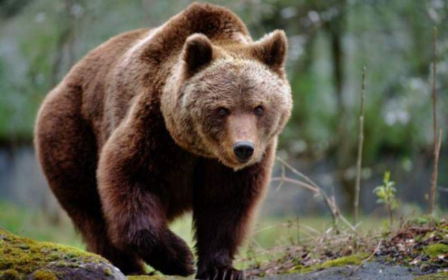 Liber la împușcarea unui urs din Stoenești!